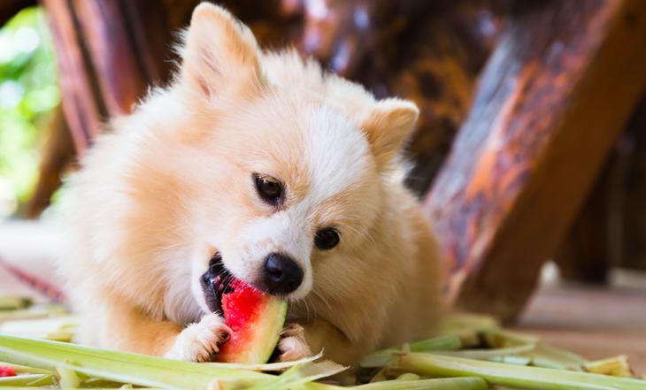 cachorro-comendo-fruta