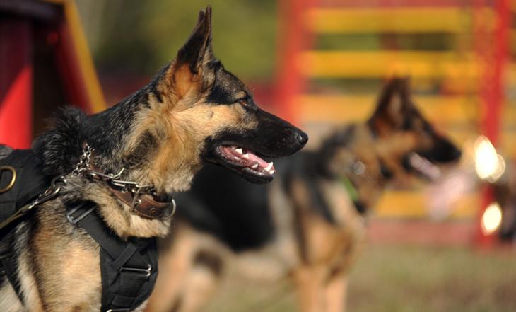 cão-de-guarda